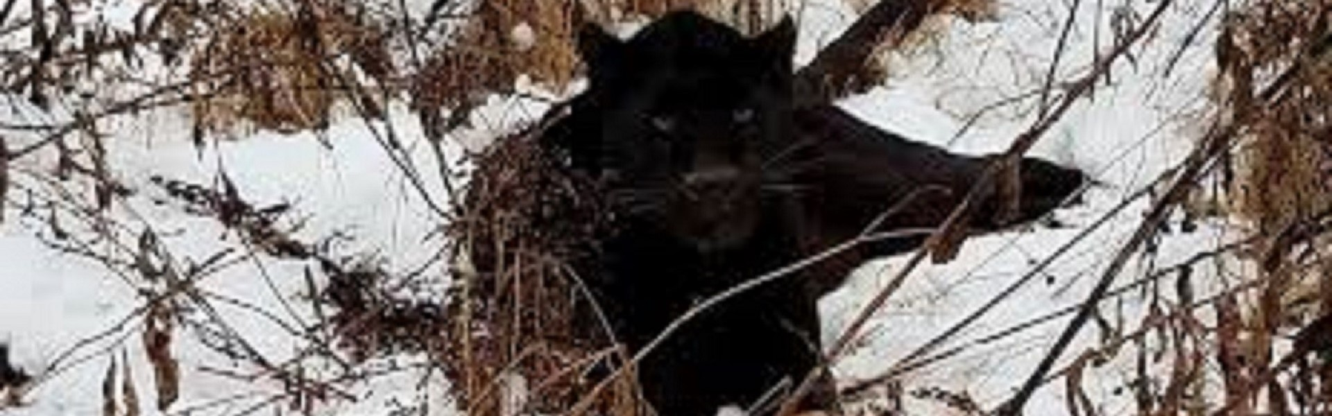 Panther in the snow