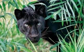 Panther in the Jungle